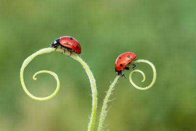 Bild: zwei Marienkäfer auf Gras