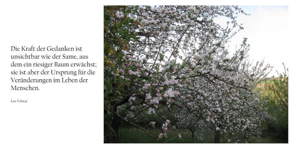 Bild: Apfelbaum blüht